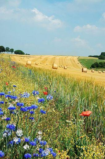 ベルギーの牧草地のひなげしとヤグルマギク、そのはるかにまとめられた牧草.jpg