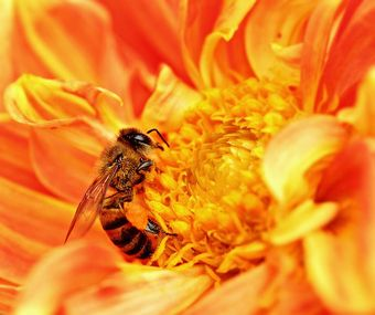 714px-Honey_Bee_takes_Nectar.JPG