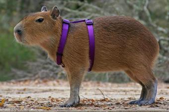 Capybara_harness.jpg
