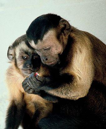 495px-Capuchin_monkeys_sharing.jpg