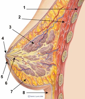 Breast_anatomy_normal_scheme.png