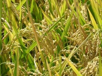 玄米 稲.jpg