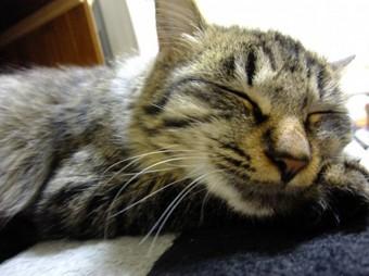 しまネコ 寝顔 長毛種.jpg