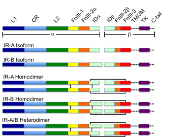 800px-Colour_coded_Schematic_of_the_Insulin_Receptor.png