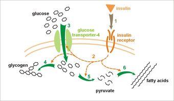 Insulin_glucose_metabolism.jpg